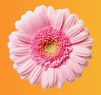 گل صورتی