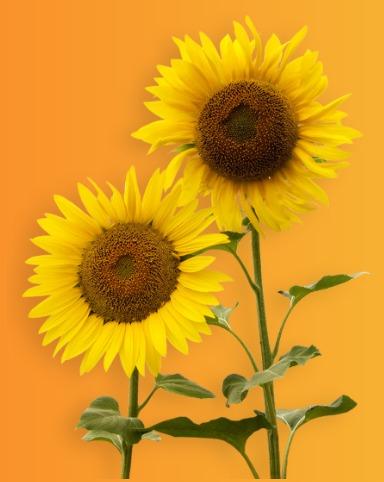 2 عدد گل آفتابگردان